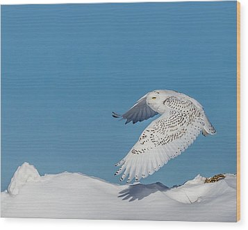 Snowy Owl - Taking Flighty Wood Print