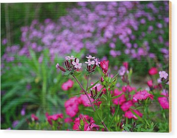 Wood Print featuring the photograph Soapwort And Pinks by Kathryn Meyer