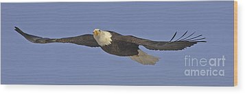 Soaring Bald Eagle Wood Print by Tim Grams