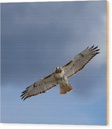Soaring Red Tail Square Wood Print by Bill Wakeley