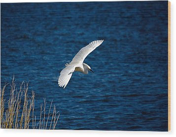 Soaring Snowy Egret  Wood Print by DigiArt Diaries by Vicky B Fuller