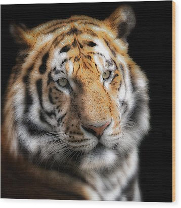 Soft Tiger Portrait Wood Print