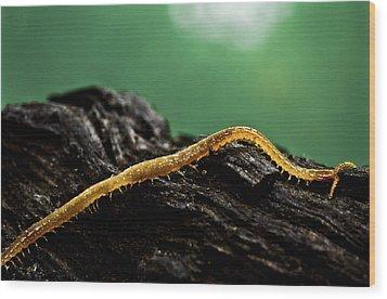Soil Centipede Wood Print by Ryan Kelly