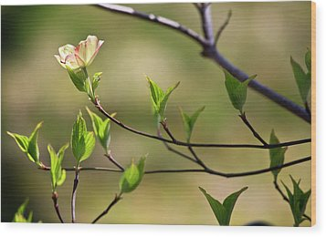 Solitary Dogwood Bloom Wood Print by Teresa Mucha