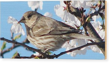 Song Sparrow Dining Out Wood Print by Angela Davies