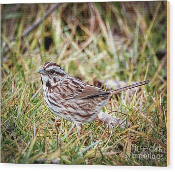 Wood Print featuring the photograph Song Sparrow Sweetie by Kerri Farley