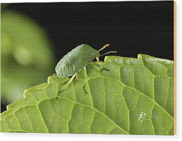 Southern Green Stink Bug Camouflaged On A Green Leaf Wood Print by Sami Sarkis