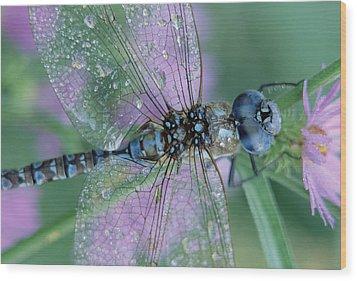 Southern Hawker Dragonfly Aeshna Cyanea Wood Print by Tim Fitzharris