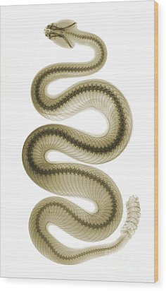 Southern Pacific Rattlesnake, X-ray Wood Print by Ted Kinsman