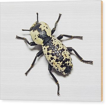 Southwestern Ironclad Beetle Wood Print by Bill Morgenstern