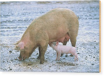 Sow With Piglet Wood Print by Science Source