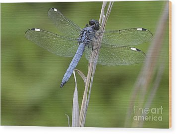 Wood Print featuring the photograph Spangled Skimmer by Randy Bodkins