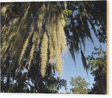 Spanish Moss Canopy Wood Print by Martha Ayotte