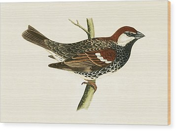 Spanish Sparrow Wood Print