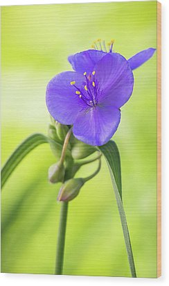 Spiderwort Wildflower Wood Print