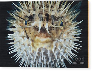 Spiny Puffer Wood Print by Dave Fleetham - Printscapes
