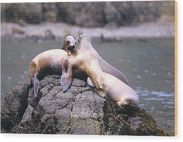 Spirited Sea Lions Wood Print