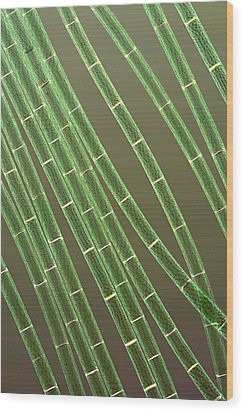 Spirogyra Algae, Light Micrograph Wood Print by Jerzy Gubernator