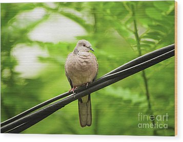 Spotted Dove   Wood Print by Venura Herath