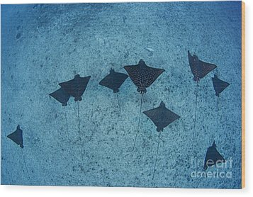 Spotted Eagle Rays Wood Print by Dave Fleetham - Printscapes