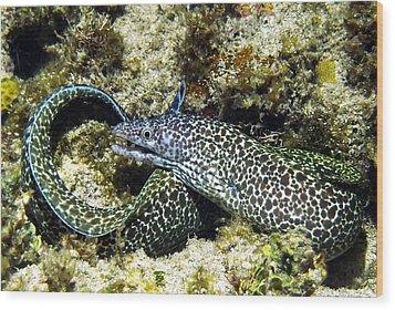 Spotted Moray Eel Wood Print