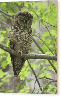 Spotted Owl Wood Print by Brian Magnier