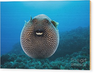 Spotted Pufferfish Wood Print by Dave Fleetham - Printscapes