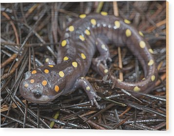 Spotted Salamander Wood Print by Derek Thornton