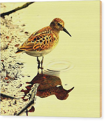 Spotted Sandpiper Wood Print by Aron Chervin