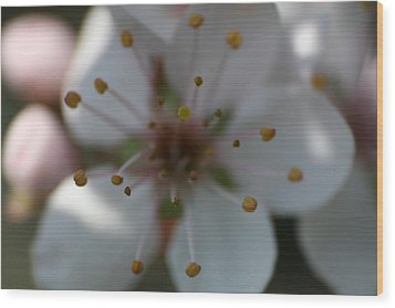 Spring Beauty Macro 1 Wood Print