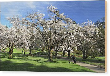 Spring Cherry Blossoms In Stanley Park Vancouver  Wood Print by Pierre Leclerc Photography