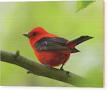 Spring Flame - Scarlet Tanager Wood Print
