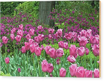 Wood Print featuring the photograph Spring Garden - Pink Tulip Border by Frank Tschakert