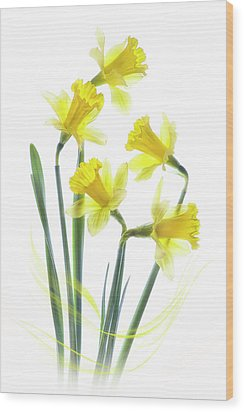 Spring Narcissus Wood Print by Jacky Parker