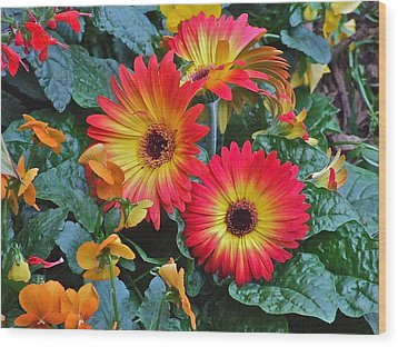 Spring Show 14 Gerbera Daisy 1 Wood Print