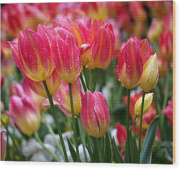Spring Tulips In The Rain Wood Print