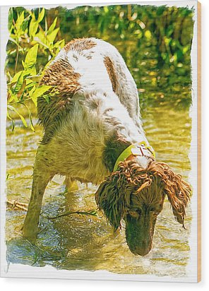 Springer Spaniel Field Wood Print by Constantine Gregory