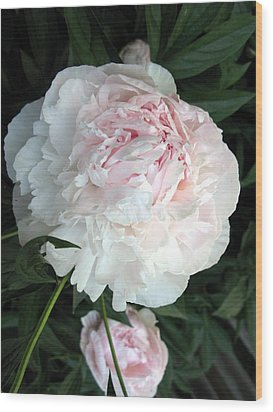 Wood Print featuring the photograph Springs Peony by Carol Sweetwood