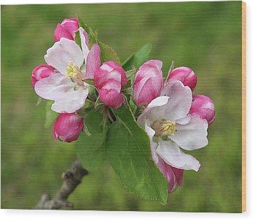 Springtime Apple Blossom Wood Print by Gill Billington
