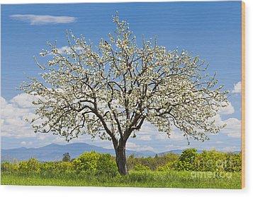 Springtime Apple Tree Wood Print