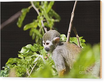 Squirrel Monkey Youngster Wood Print by Afrodita Ellerman