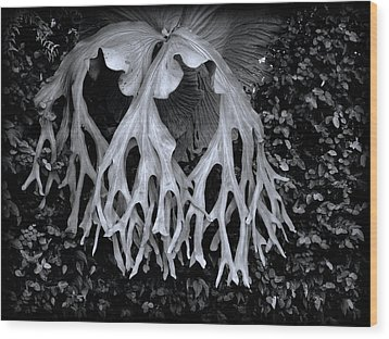 Staghorn Fern Wood Print by Wayne Sherriff