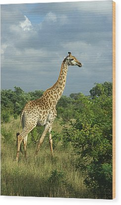 Standing Alone - Giraffe Wood Print
