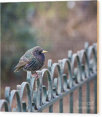 Starling Juvenile Male Wood Print