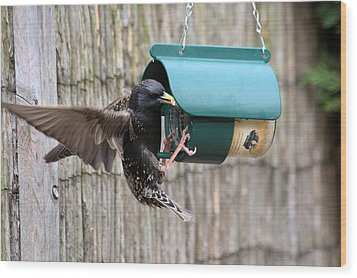 Starling On Bird Feeder Wood Print by Gordon Auld