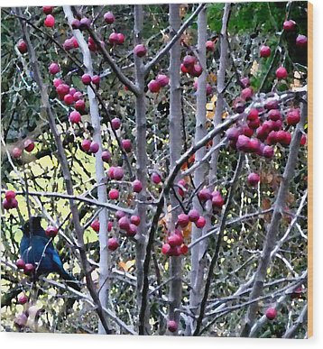 Stellar Jay In Crab Apples Wood Print by Will Borden
