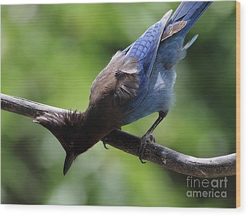 Stellers Jay . 7d6360 Wood Print by Wingsdomain Art and Photography