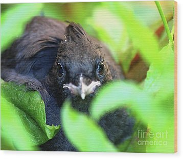 Stellers Jay Chick . 40d501 Wood Print by Wingsdomain Art and Photography