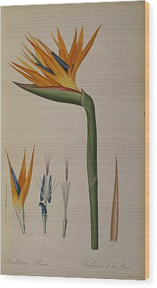 Strelitzia Reginae Wood Print by Pierre Joseph Redoute