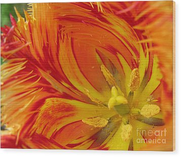 Striped Parrot Tulips. Olympic Flame Wood Print